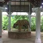 U ovom zoološkom vrtu tigar vezan lancima ide u krug i po 22 sata dnevno, a razlog je OKRUTAN
