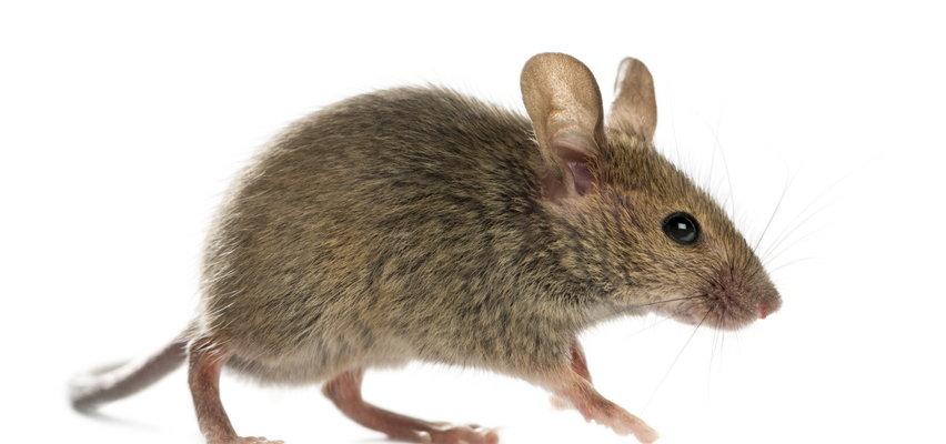 Jak pozbyć się myszy z domu?