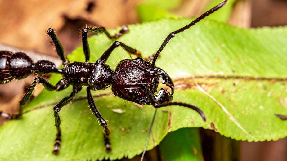 Najgroźniejsze mrówki świata