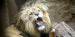 Groźne zwierzęta uciekły z zoo! W mieście wybuchła panika