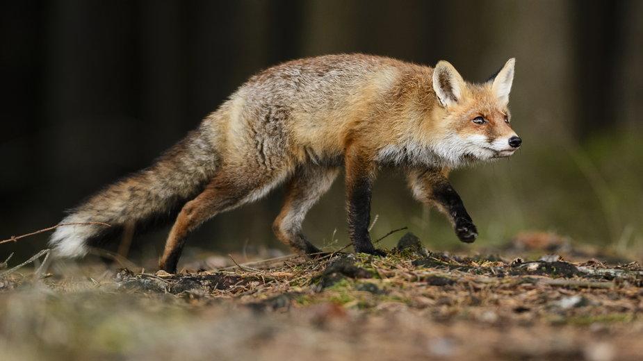 Podkarpacie: jesienne szczepienie lisów przeciw wściekliźnie