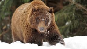 W Bieszczadach obudziły się niedźwiedzie. Mogą być groźne dla ludzi!