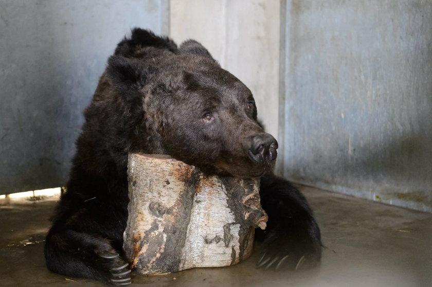 Dentysta u niedźwiedzi