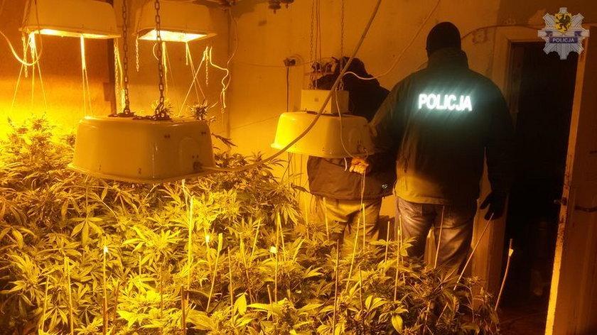 Plantacja marihuana