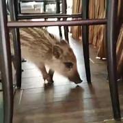 prase divlje svinje u restoranu novi beograd
