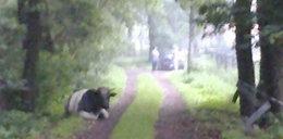 Przez byka spóźniła się do pracy!