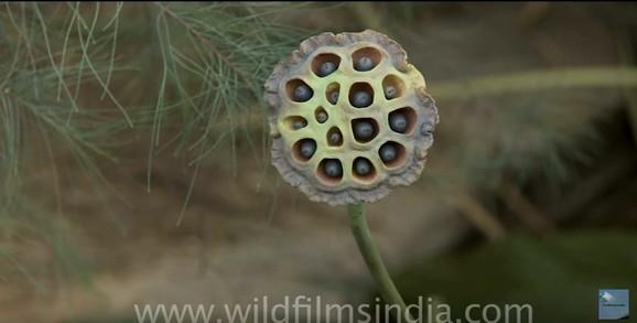 Seme lotosovog cveta