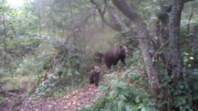 """Bieszczady: rodzina niedźwiedzi """"przyłapana"""" na zbieraniu jabłek"""