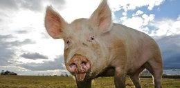 Ludzkie organy w świniach!