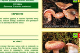 Gljive razlika izmedju rujnice i brezovke