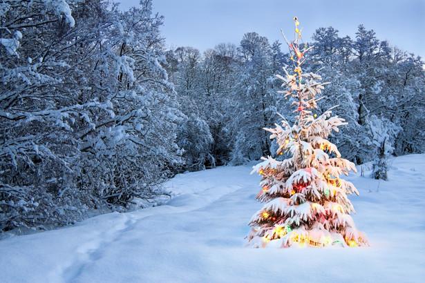 Drzewka sprzedawane przez leśników pochodzą ze specjalnych plantacji choinek lub są wycinane w ramach planowych zabiegów pielęgnacyjnych.