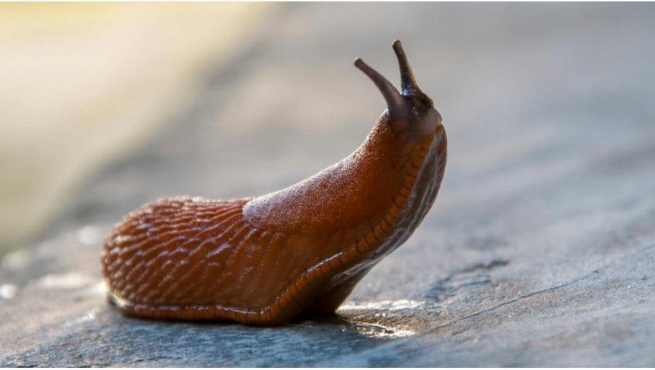 Sposób na ślimaka. Jak się go pozbyć z ogrodu?