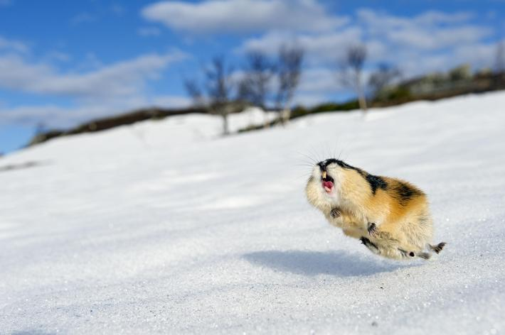 Norway lemming (Lemmus lemmus) jumping aggressively, during the lemming population explosion, Vaulda