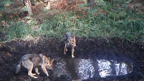 """Wielkopolskie: wilki w fotopułapce. """"Nie było ich tu kilkadziesiąt lat"""""""
