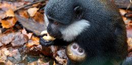 W zoo urodziły sięmałpki