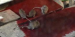 Szpitale jak z horroru. Szczury piły rozlaną krew