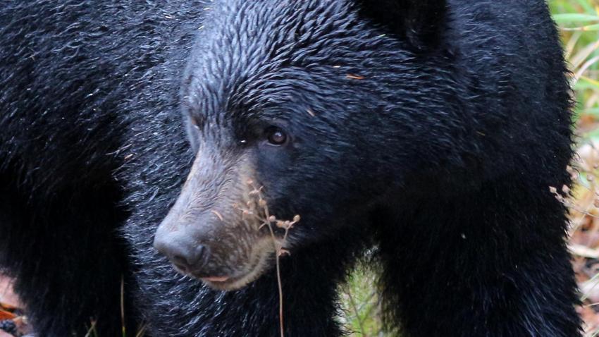 Kina.  Familien tok i bjørnen.  De trodde det var en hund