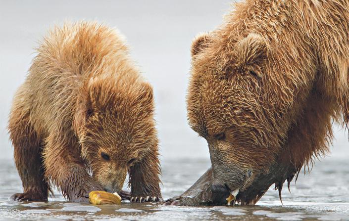 a medvék lefogynak, amikor hibernálnak fogyni meszel