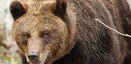 Niedźwiedź zaatakował drwala w Bieszczadach