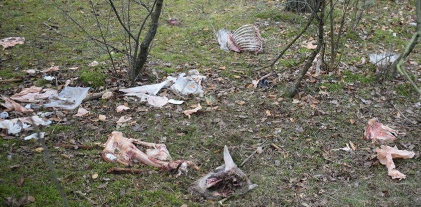 Makabra pod Środą Wielkopolską. W lesie znaleziono szczątki kilkudziesięciu owiec
