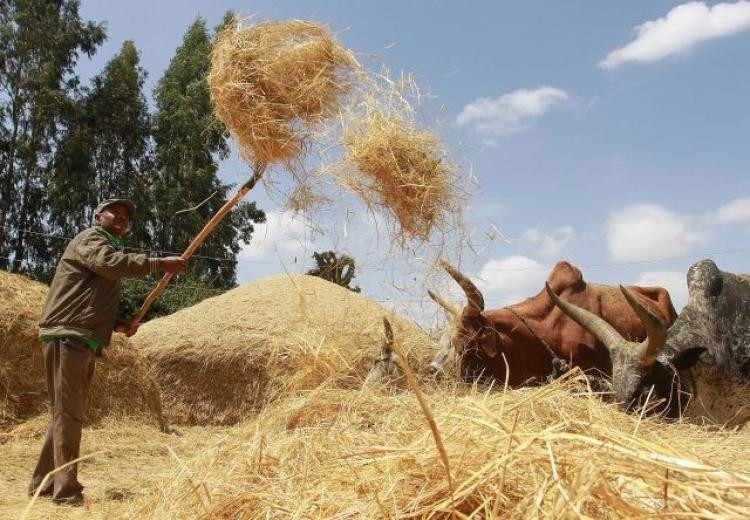 A farmer winnows a dried teff crop to separate seeds from stalks at Ada village in Bishoftu town, Oromia region of Ethiopia.