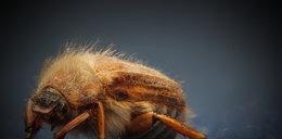 Włochaty chrząszcz sieje popłoch, właśnie trwa jego inwazja na Polskę. Co to za owad? Czy trzeba się go bać?