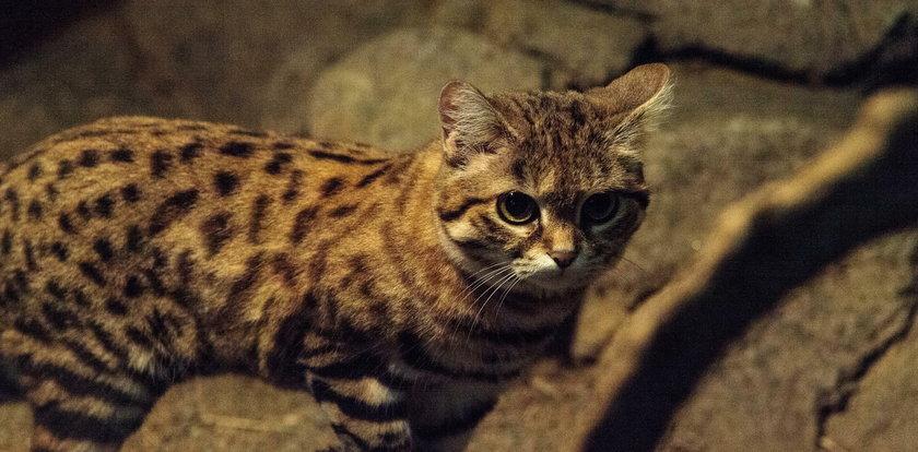 Ten maluch to najbardziej niebezpieczny kot na świecie