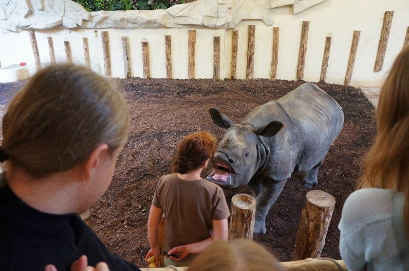 Nosorożec we wrocławskim ZOO