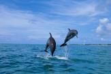 kljunasti delfin, delfini