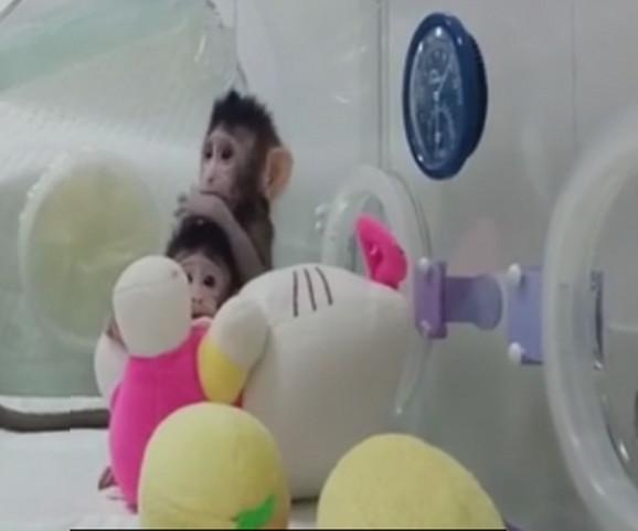 Prvi uspešno klonirani majmuni