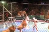 lavovi