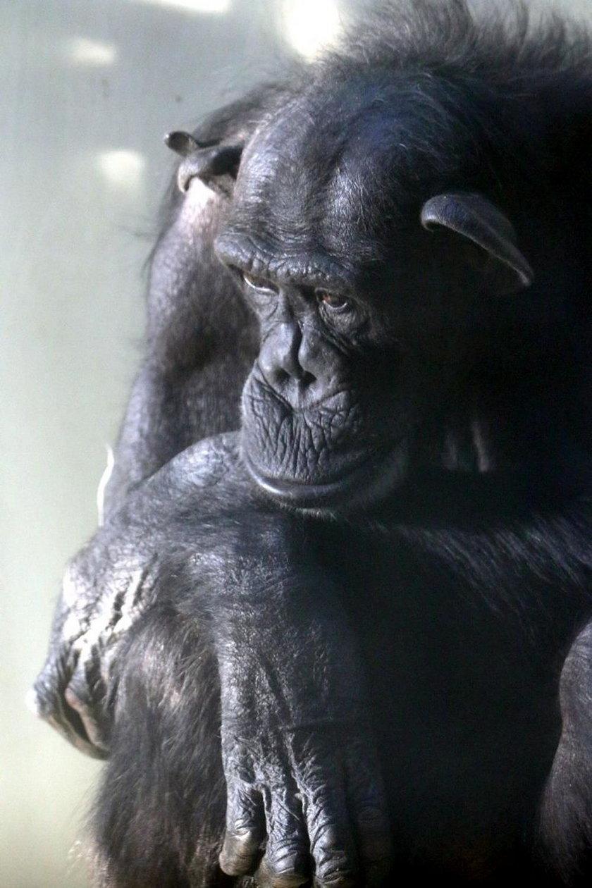 Szympansica Kasia.