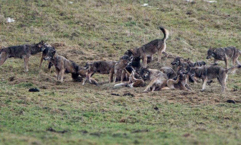 Wataha wilków w Bieszczadach
