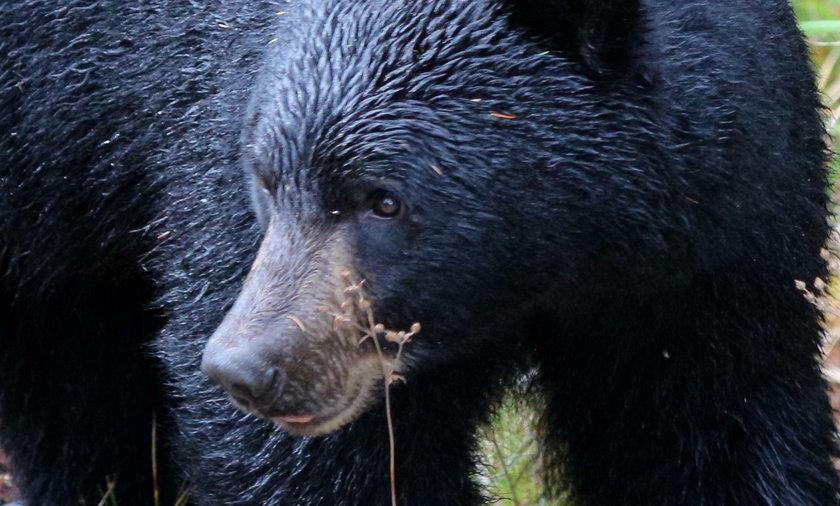 Chiny. Rodzina przygarnęła niedźwiedzia. Myśleli, że to pies