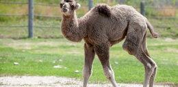 W zoo urodził się wielbłąd