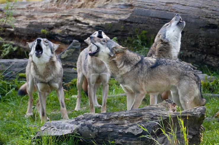 Čopor vukova