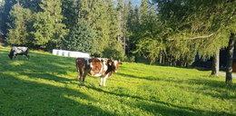 Wypadek na Gubałówce. 9-latka raniona przez krowę
