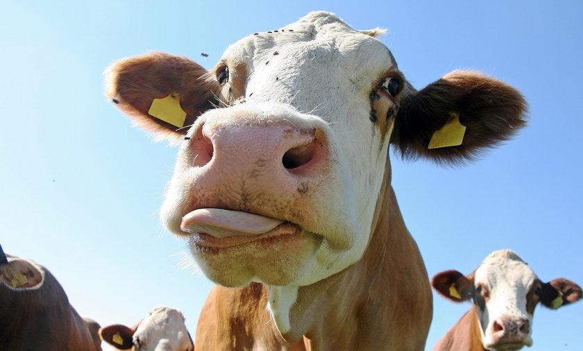 Tudder - Tinder dla krów i byków. Jak działa?