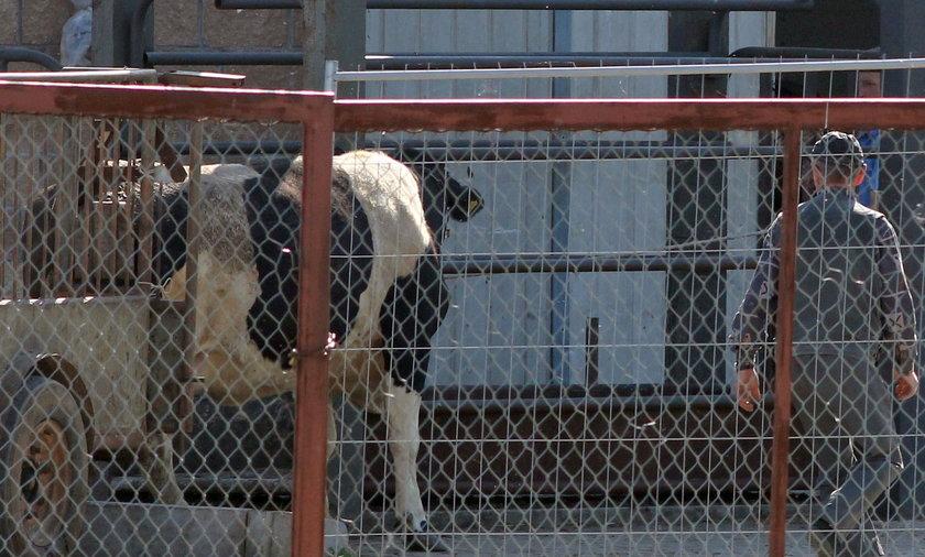 Kupowali martwe i chore krowy
