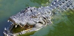 Aligator zaatakował dziecko. Ojciec ruszył na ratunek