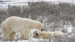 Arktyka: mieszańce misiów polarnych z grizzly