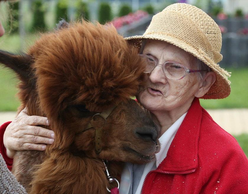Starsi ludzie bardzo lubią przytulać się do miękkiego futra alpaki
