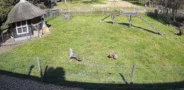 Jastrząb chciał ukraść kurczaka. Obroniły go inne zwierzęta gospodarskie. Niebywałe wideo