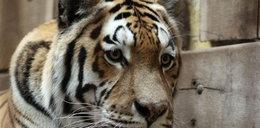 Tygrys zamordował opiekuna w zoo