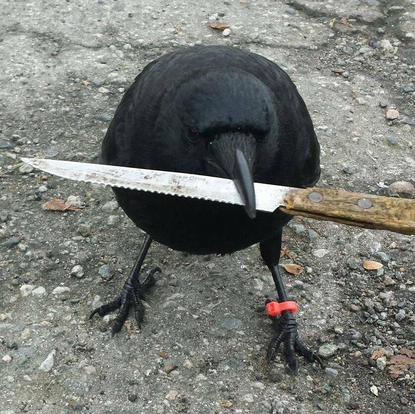 Canuck czyli wrona kleptomanka
