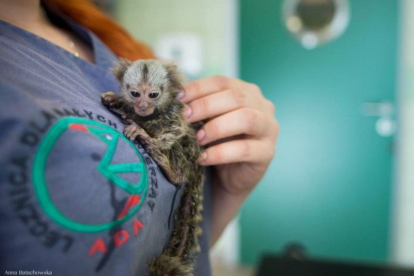 Małpka Kazio trafiła do lekarza