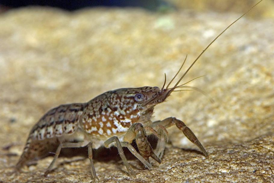 Marbled Crayfish