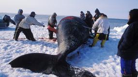 Z ciężkim sprzętem na wieloryba