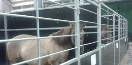 Konie na targach. FILM