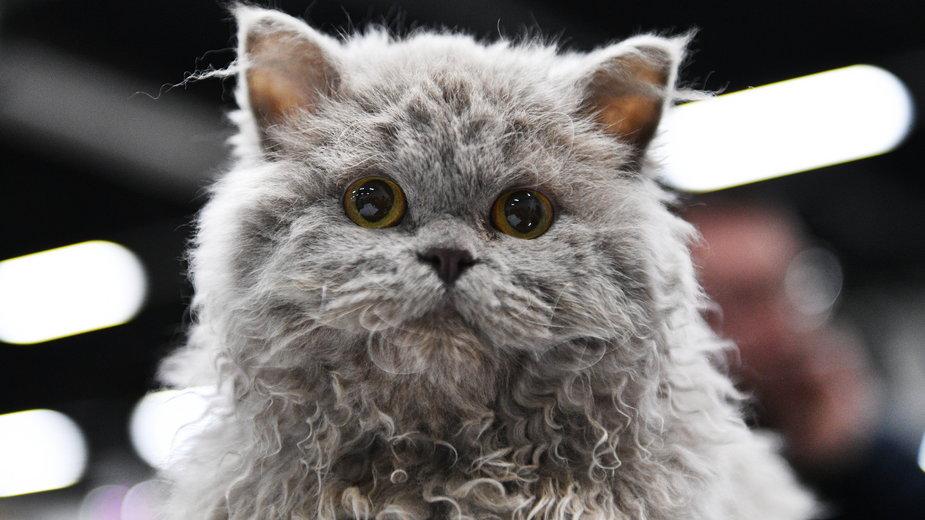 Kot selkirk rex ma sierść o nietypowym wyglądzie - Sel_Sanders/stock.adobe.com